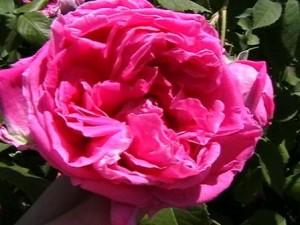 poza Trandafiri de dulceata cu radacina,  soiul `Rose de Rescht` in ghiveci de 3 litri