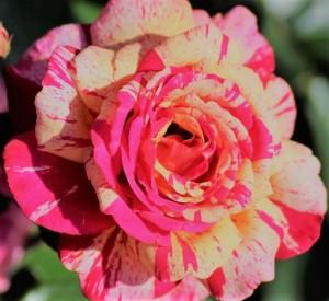 poza Trandafiri de gradina cu radacina 'Broceliande' la ghiveci de 3 litri