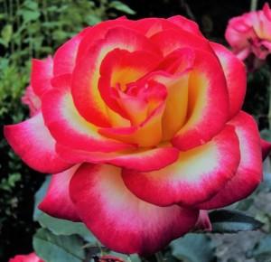 poza Trandafiri de gradina cu radacina 'Leo Ferre' la ghiveci de 3 litri