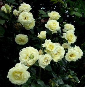 poza Butasi de trandafiri urcatori de gradina soiul `Elfe` la ghiveci de 3 litri