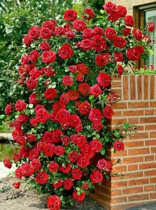 poza Butasi de trandafiri urcatori soiul `Santana` la ghiveci de 3.5 litri