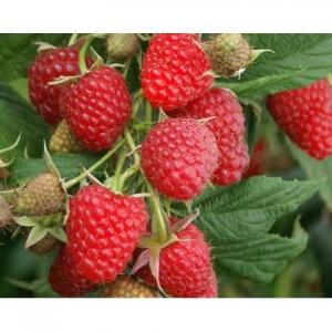 poza Arbusti fructiferi Zmeur, soiul Polka la ghiveci