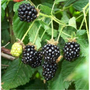 poza Arbusti fructiferi Mur, soiul `Thorn Free`la ghiveci