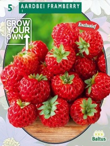 poza Capsuni stoloni, soiul `Aardbei Framberry`  fructe mari, la ghiveci