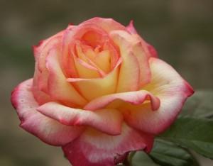 poza Trandafiri de gradina Polyantha Sheila s Perfume la ghiveci de 3 litri
