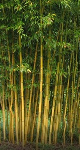 poza Bambus `Phyllostachys Aureosulcata` h =150- 200 Cm