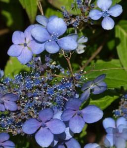 Poza Hortensia/ HYDRANGEA SERRATA BLUE BIRD h = 50 -60cm. Poza 10517