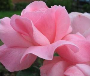 Poza Trandafiri de gradina Polyantha cu radacina Elisabet Queen