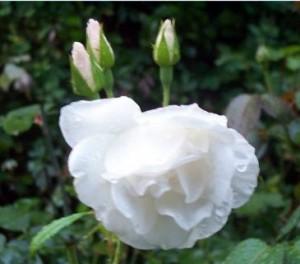 poza Trandafiri de gradina Floribunda `Iceberg`la ghiv de 3l