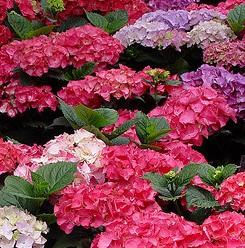 poza Flori perene Hortensia / `HYDRANGEA MACROPHYLLA RED` h=35-40 cm , ghiveci 7 litri