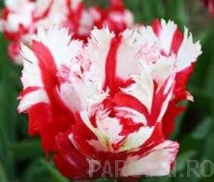 poza Bulbi de lalele grupa Papagal,Estella Rijnveld, 12 buc/punga, culoare, petale ondulate si franjurate