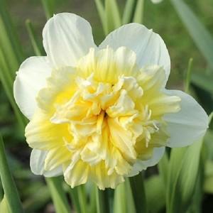 poza Bulbi de narcise,Ice king , 15 buc/punga, floare batuta, crem