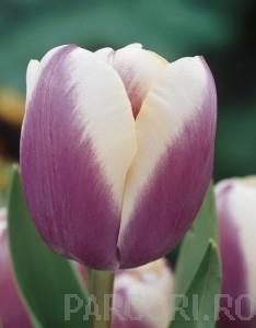 poza Bulbi de lalele Atlantis, 15 buc/punga, culoare mov cu alb