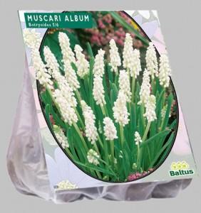 poza Bulbi de muscari, MUSCARI BOTRYOIDES ALBUM 30 buc / pachet