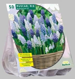 poza Bulbi de muscari, Muscari mix 50 buc / pachet