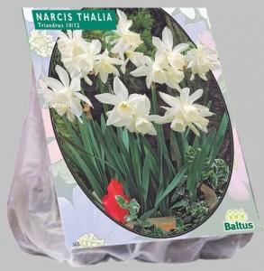 poza Bulbi de narcise 'NARCIS MINI THALIA'  5 buc/punga, floare alba