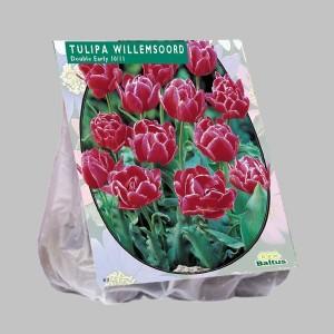 poza Bulbi de lalele  'TULIPA DUBBEL WILLEMSOORD'  20 buc/pachet, culoare rosu inchis