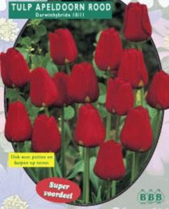 poza Bulbi de lalele  'TULIPA APELDOORN ROOD'  20 buc/pachet, culoare rosie