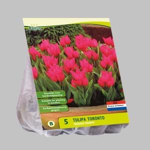 poza Bulbi de lalele  'TULIPA TORONTO'  5 buc/pachet, culoare roz-cyclam
