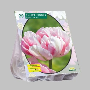 poza Bulbi de lalele  TULIPA  FINOLA  20 buc/pachet, culoare roz cu alb