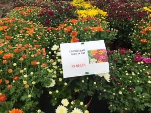 poza Flori de gradina perene CHRYSANTHEMUM BRANOPAL PURPLE/CRIZANTEMA ghiv de 14 cm
