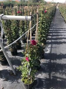 Poza Trandafiri urcatori  `Ciclamen` la ghiveci de 5 litri h=1,5m. Poza 10676