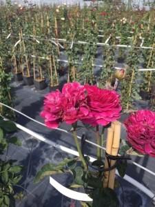 poza Trandafiri urcatori  `Ciclamen` la ghiveci de 5 litri h=1,5m