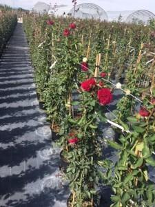 poza Trandafiri urcatori  `Bordo` la ghiveci de 5 litri h=1,5m