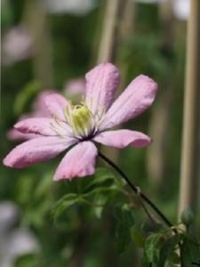 Poza Plante agatatoare Clematis montana  ghiveci 2 litri, h=80-100 cm.