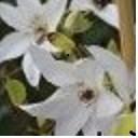 poza Plante agatatoare Clematis  Beautiful Bride ghiveci 2 litri, h=100-125 cm
