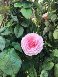 poza Trandafiri urcatori  `ROZ ` la ghiveci de 5 litri h=1,5m