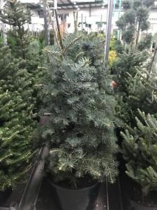 poza Arbori rasinosi ABIES CONCOLOR   h= 80-100 cm