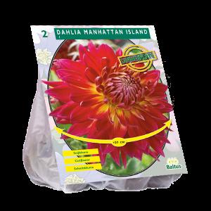 poza Bulbi de flori de gradina, Dahlia Dinnerplate Manhattan Island, 2 radacini/pachet