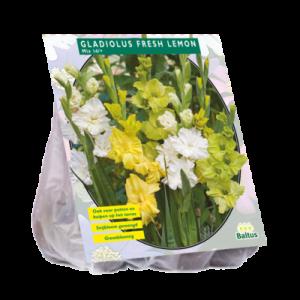 poza Bulbi flori perene Gladiole Fresh Lemon, 15 buc/pachet