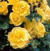 poza Butasi de trandafiri urcatori cu radacini ambalate ,soiul `Golden Sove