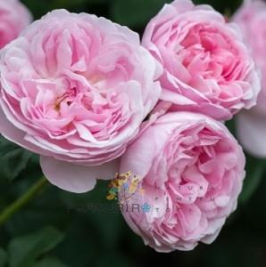 poza Butasi de  trandafiri urcatori cu radacina ambalata, soiul `Parade`