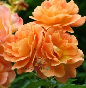 poza Butasi de trandafiri urcatori cu radacina ambalata, soiul `Westerland`