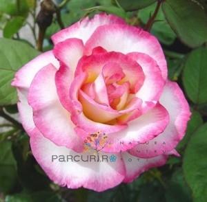 poza Butasi de trandafiri urcatori cu radacini ambalate, soiul `Handel`