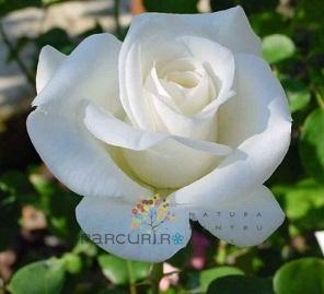 poza Butasi de trandafiri urcatori cu radacina ambalata, soiul Virgo`