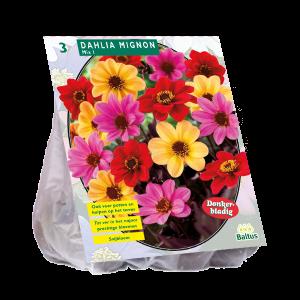 poza Bulbi de flori de gradina, Dahlia Mignon mix , 3 radacini/pachet