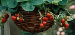 poza Bulbi flori primavara  Strawberry basket (capsuni),  bulbi/pachet