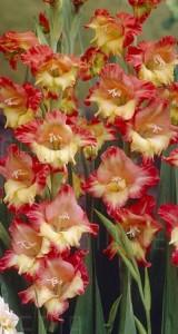 poza Bulbi flori perene Gladiole `Butterfly Jackpot`, 5 buc/pachet