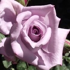 poza Trandafiri de gradina pe picior, radacina ambalata, soiul 'Lady X'