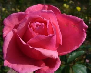 poza Trandafiri de gradina cu radacina ambalata  soiul 'Bel Ange'