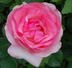 poza Trandafiri de gradina cu radacina ambalata  soiul 'First Lady'