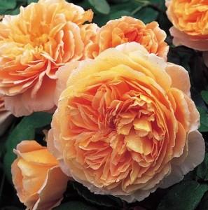 poza Trandafiri englezesti de gradina, cu radacina ambalata, soiul 'Crown Princess Margareta'cu licenta David Austin
