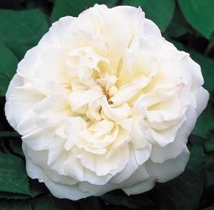 poza Trandafiri englezesti de gradina, cu ghiveci , soiul 'Wincester Catedral' cu licenta David Austin