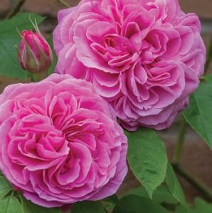 poza Trandafiri englezesti de gradina, cu ghiveci, soiul 'Gertrud Jekyl' cu licenta David Austin