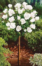poza Trandafiri de gradina pe picior, radacina ambalata, soiul 'White'