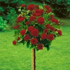 poza Trandafiri de gradina pe picior, radacina ambalata, soiul 'Dame de Coeur'